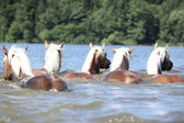 Batch of chestnut horses swimming — Zdjęcie stockowe