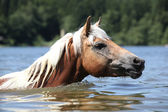 Blond haflinger swimming in the water — Stock fotografie