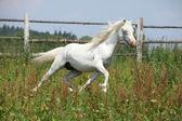白威尔士山小马种马运行 — 图库照片