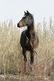 Porträtt av walesiska del-uppfödda sto med grimma — Stockfoto