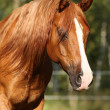Stock Photo: Portrait of gorgeous arabihorse