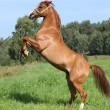 Stock Photo: Young arabihorse prancing