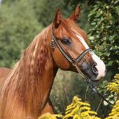 Portrait of nice arabian horse — Stock Photo