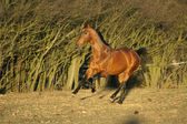 Gorgeous brown warmblood running in the evening — Stock Photo