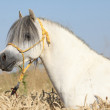 Stock Photo: Gorgeous white stallion of welsh mountain pony in corn field