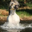 Stock Photo: Gorgeous stallion which is bathing in river