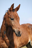 Portrait of nice brown filly looking — Stock Photo
