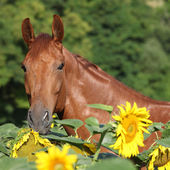 Beautiful horse in sunflowers — Stock Photo