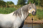 Potrait of gorgeous stallion which is bathing in river — Stock Photo