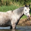 Nice mare bathing in the river — Stock Photo