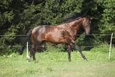 Ницца коричневый конь, работающие на выгон — Стоковое фото