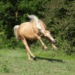 Stock Photo: Nice palomino horse with long blond mane running