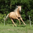 Nice palomino horse with long blond mane running — Stock Photo