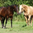 Stock Photo: Two stallions standing on pasturage