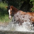 Stock Photo: Nice horse with rope halter playing in water