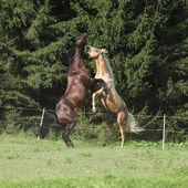 Cuarto dos caballos sementales peleándonos — Foto de Stock