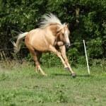Nice palomino horse with long blond mane running — Stock Photo