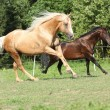 Stock Photo: Brown and palomino stallions running on pasturage