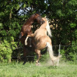 Two quarter horse stallions fighting with each other — Стоковая фотография