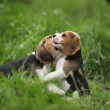 Two adorable puppies playing — Stock Photo #31264831