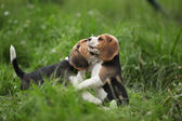Two adorable puppies playing — Stock Photo