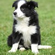 Gorgeous puppy of border collie sitting — Stock Photo