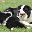 Border collie with puppies — Stock Photo #31606813