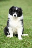 Gorgeous puppy of border collie sitting — Stock Photo