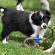 Adorable border collie puppies playing — Stock Photo