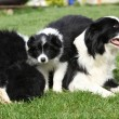 Border collie with puppies — Stock Photo #31615329