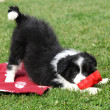 Gorgeous border collie puppy playing — Stock Photo