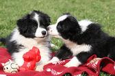 Collie de frontera adorables cachorros jugando — Foto de Stock