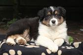 Adorable cachorro tumbado en el jardín — Foto de Stock