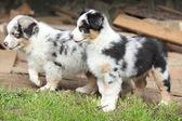 Adorables cachorros de pie en el jardín — Foto de Stock