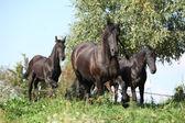 Hermosos caballos negros — Foto de Stock