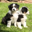 Two australian shepherd puppies together — Stock Photo