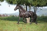 Friese paard uitgevoerd in de herfst — Stockfoto