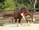 Beautiful stalion with long mane jumping — Stock Photo