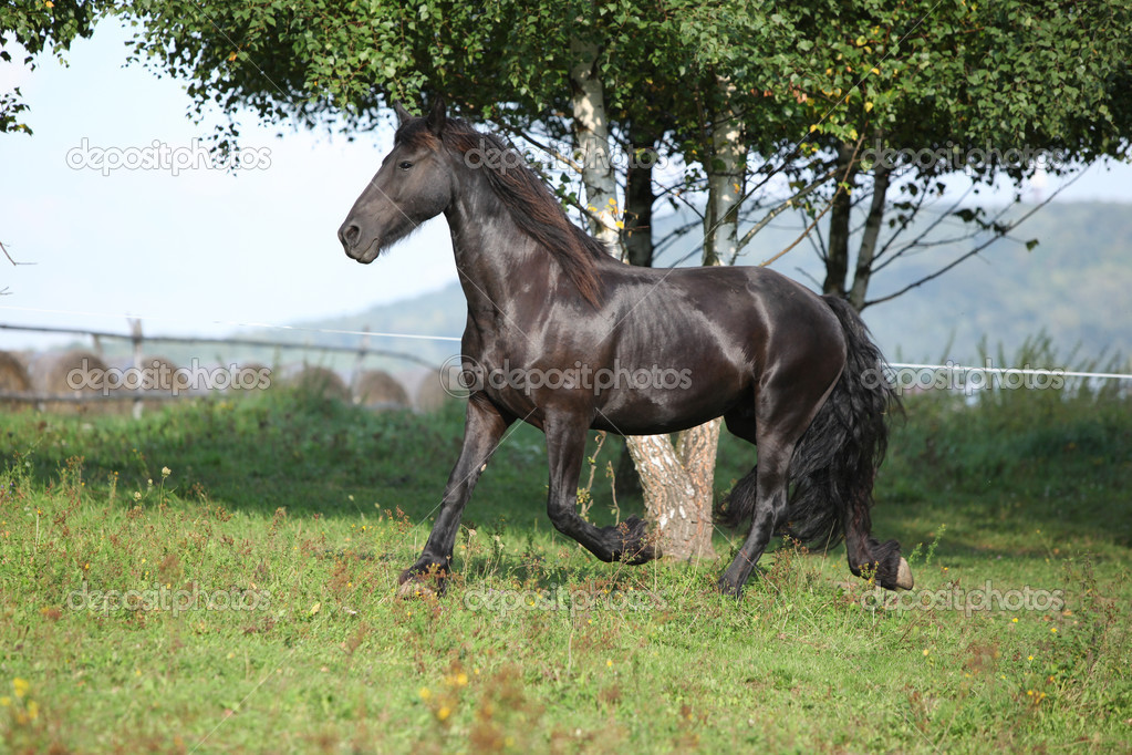 Friesian Horses Running Friesian Horse Running on