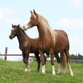 Brown mare with long mane standing next to the foal — Stock Photo