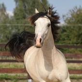 Beautiful palomino horse running — Stock Photo