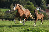 Mare with foal running — Stock Photo
