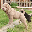 Young sharpei — Stock Photo