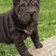 Nice black sharpei puppy — Stock Photo #32592037
