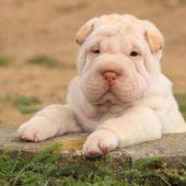 Adorable Shar Pei puppy in the garden — Stock Photo