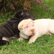 Two sharpei puppies lying together — Stock Photo