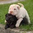 Stock Photo: Two sharpei puppies lying together