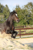 Gorgeous brown welsh cob jumping — Stock Photo