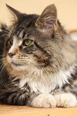Güzel kedi yalan — Stok fotoğraf