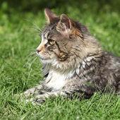 Gorgeous cat lying — Stock Photo